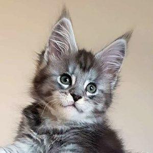 Azula-kitten